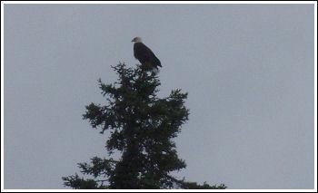 Fly Fishing Guides Flies Fishermen Gear Eagle in Tree 8-2011